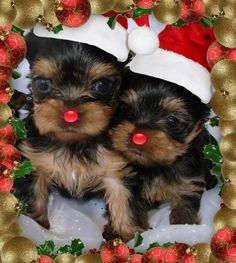 Yorkie puppies waiting for Christmas