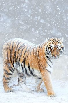 tiger in snow Amazing World #beautiful #gorgeous #fabulous