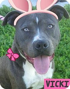 Red Bluff, CA - . Meet VICKI-Low Fees/Spayed, a dog for adoption. http://www.adoptapet.com/pet/15032582-red-bluff-california-american-pit-bull-terrier-mix