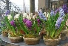 forced amaryllis bulbs in water - Saferbrowser Yahoo Image Search Results