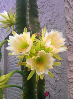 Cactus in Bloom. Unusual Flowers, Beautiful Flowers Garden, Amazing Flowers, Pretty Flowers, Cacti And Succulents, Cactus Plants, Cactus E Suculentas, Backyard Plants, Desert Plants