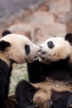 A panda bear licking another bear's face.