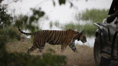 BBC documentary creates a stir India bans channel from filming in tiger reserves