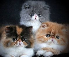 Beautiful Batcho's Persians. Breeder: Kerrie Batcho. Curwensville, Pennsylvania USA