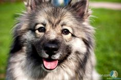 I could not find one german shepherd keeshond mix that's as beautiful as our dog Bailey was, but this is as close as I could get