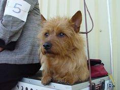 Redwing Australian Terriers