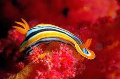 Bildergebnis für (Nudibranchia