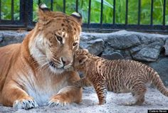 Liliger: Offspring of a male lion and a female liger
