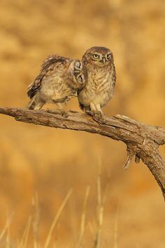 Cute little owl friends. Funny Owls, Funny Animals, Cute Animals, Owl Photos, Owl Pictures, Beautiful Owl, Animals Beautiful, Beautiful Couple, Beautiful Creatures