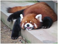 Tagged with , , , , Red Panda Monday; I prefer Red Panda Monday Zoo Animals, Cute Baby Animals, Animals And Pets, Funny Animals, Red Panda Cute, Zoo Animal Party, Cute Animal Pictures, Animals Beautiful, Pet Birds
