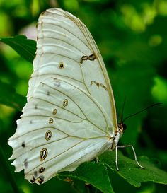 ~~Clouded Mother of Pearl Butterfly (Protogoniomorpha anacardii) by Meridith112~~