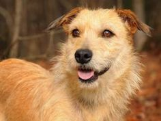 Sandy is an adoptable Terrier Dog in Social Circle, GA. Please contact Beth ( beth@ppnk.org ) for more information about this pet. Application is required - Please go to www.ppnk.org $150 adoption fee...