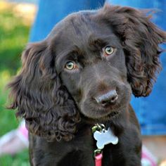 e663d8ec6e8a8 Get all your Retriever Training Products at www.marshmutt.com Boykin  Spaniel Puppies,
