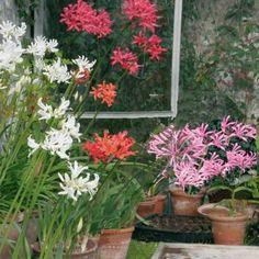Les nérines sont des plante bulbeuse à floraison automnale aux fleurs étoilées en ombelles sur de longues tiges qui se détachent bien sur un...