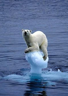 A Polar Bear clinging precariously to a tiny piece of floating ice, photo by Carla Lombardo Ehrlich for WWF - Pixdaus