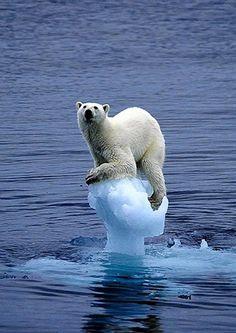 Polar bear balance