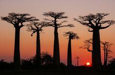 Baobabs de Madagascar 2