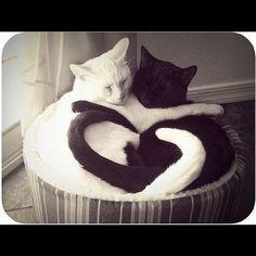 """我愛死了這張照片!!  @petsplususa's photo: """"#omg the cuteness factor is killing me +99999999 #cats #petsplususa"""""""