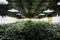 Control the cost of Indoor cannabis growing