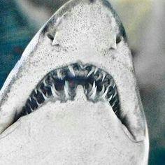 Shark by Zanthia Orcas, All Sharks, Shark Pictures, Underwater Life, Deep Blue Sea, Great White Shark, Ocean Creatures, Shark Week, Big Fish