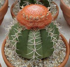 Melocactus matanzanus (Dwarf Turk's-cap cactus, Turk's-cap cactus)