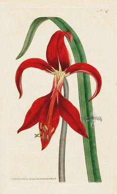 Amaryllis formosissima. Jacobaean Amaryllis. from William Curtis Botanical Magazine 1st Edition Prints Vol 1-6 1787