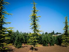 Golden Atlas Cedar Cedar Trees, Evergreen Trees, Trees And Shrubs, Trees To Plant, Nursery Supplies, Wholesale Nursery, Golden Yellow Color, Farm Nursery, Specimen Trees
