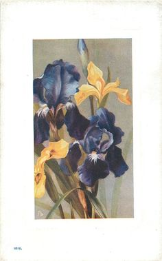 Iris. Flower Studies postcard set. B. Maguire. 1903