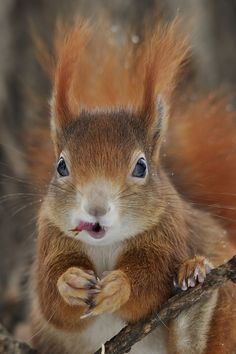 """A little squirrel tongue! """"Squirrel Tongue Twister"""" by Josef Gelernter Woodland Creatures, Cute Creatures, Beautiful Creatures, Animals Beautiful, Hamsters, Rodents, Squirrel Pictures, Animal Pictures, Nature Animals"""