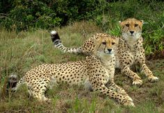 Cheetahs in de Kragga Kamma Nature reserve, Port Elizabeth, Zuid-Afrika (foto: Joggie van Staden)