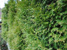 Hekkplanter for enhver smak, her er mine forslag. Hedges, Living Fence, Shrubs, Natural Privacy Fences