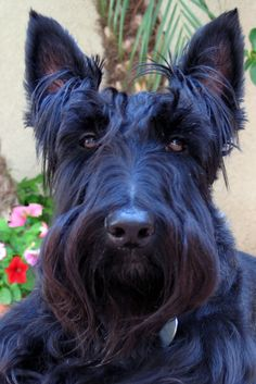 Dogs Picture Blog: Scottie Dog Pictures427 x 640329.6KBdogspictureblog.blogspot.co...