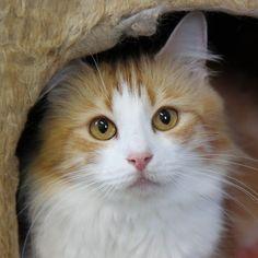Norwegian Forest Cat Borealis Ellesandra Www.borealiscats.com