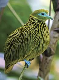 Golden fruit dove