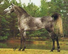 Sar Fadl Halim (Ansata Ibn Halima x Sabrah) 1973 Purebred Grey Straight Egyptian Arabian stallion
