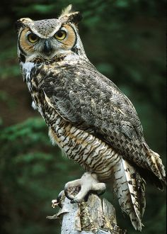 Great Horned Owl Facts | Hatch year 1998 Weight: 2.5 lbs. Found in River Falls, Wis. Human ...