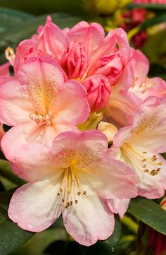 Buy rhododendron Rhododendron 'Percy Wiseman': Delivery by Crocus everlasting life