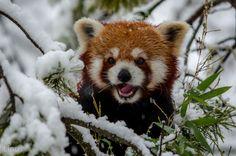 Fotografia Happy Snow Days de elementoxygen  - Panda vermelho