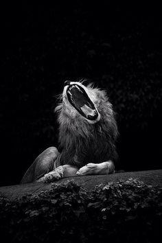 Yawning lion -welkinslion (tumblr)