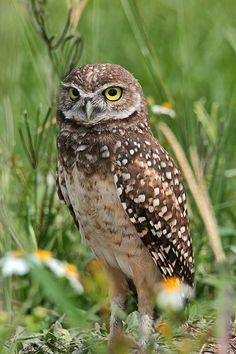 Burrowing Owl.  One of my absolute favorites!!