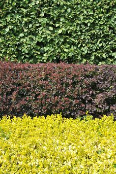 Build A Natural Privacy Fence With Trees And Hedges | Tutorials {Home} |  Pinterest | Natural Privacy Fences And Privacy Fences
