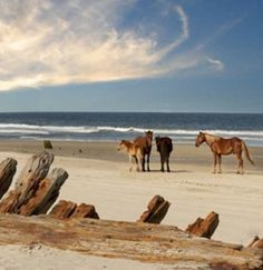 to see wild horses - outer banks, north carolina