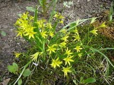 Pikkukäenrieskat ovat puutarhamme ensimmäisiä kukkijoita. / A least gagea (Gagea minima) is one of the first fowers in bloom. Aschan House, Heinola, Finland.