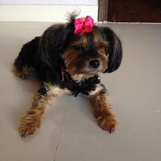 Simona #yorkie #dog #love