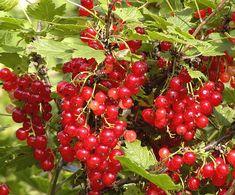 Aalbessen of Ribes rubrum ook rode bes, trosbes of jenevers verzorging, snoeien, soorten bessen