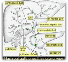 Medical and Health Science: Anatomy of Liver! Medical Coding, Medical Science, Liver Anatomy, General Surgery, Bile Duct, Surgical Tech, Human Anatomy And Physiology, Medical Anatomy, Nursing Notes