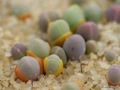 A macro photograph of tiny Gibbaeum comptonii seedlings.  Gibbaeum comptonii seedlings by Martin_Heigan, via Flickr