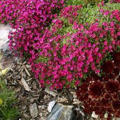AUBRIETA hybrid 'Red Carpet' - Blåpude, farve: mørk rosa, lysforhold: sol, højde: 10 cm, blomstring: april - maj, god bunddække.
