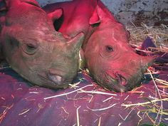 Rhino Orphanage Forced To Close After Poachers Kill Two Babies