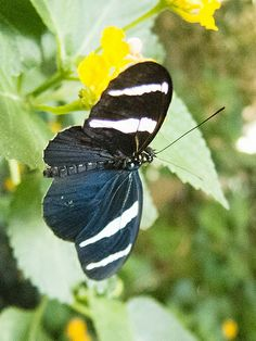 Black and blue butterfly with white stripes